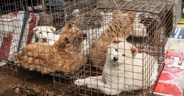 chiens corée du sud viande