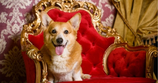 Corgi royal