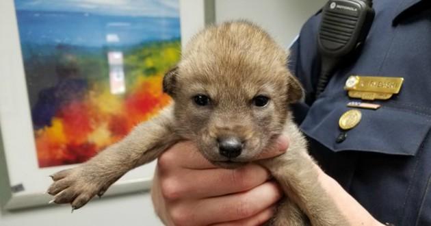 chien bébé coyote