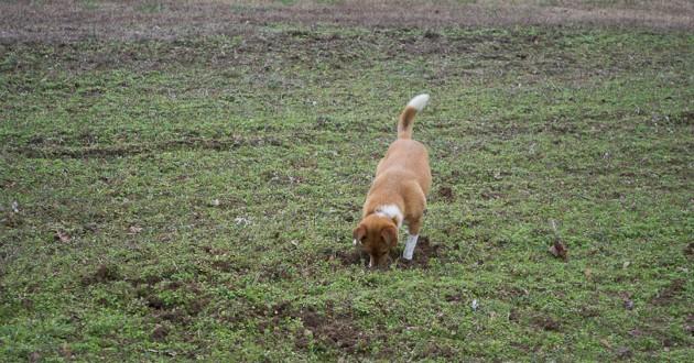 chien qui creuse dans l'herbe
