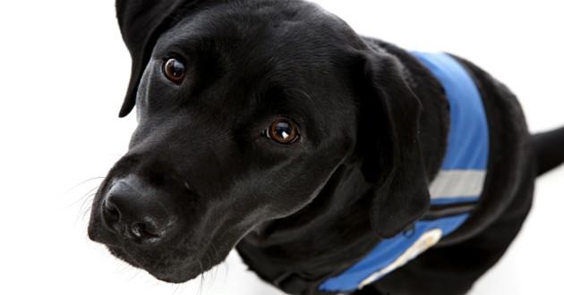 chien guide noir