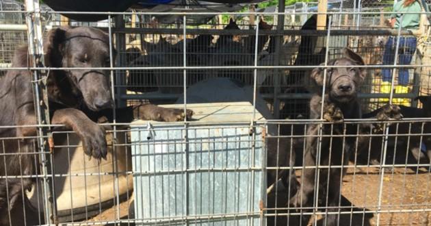 chien dans des cages