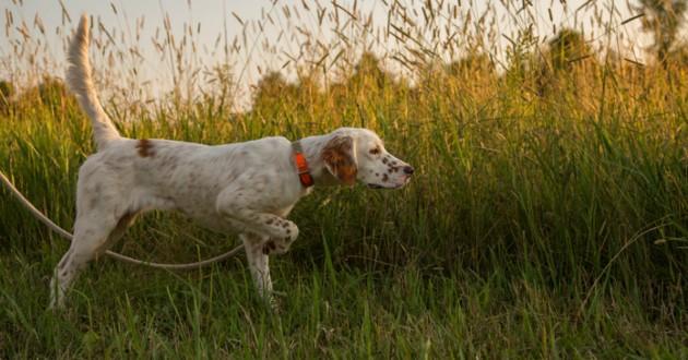 chien de chasse blanc
