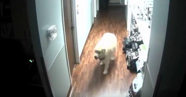 chien Pyrénées évasion