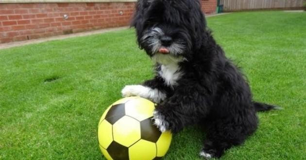 Ronaldog le chien star du football