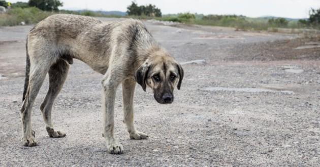 chien errant au poil gris
