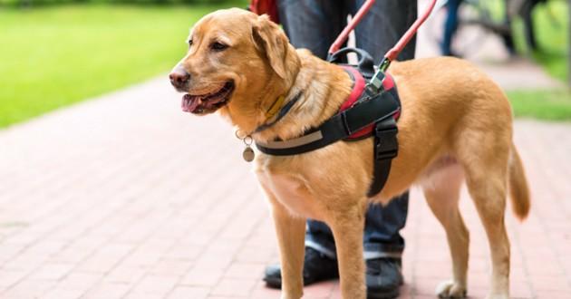 chien guide aveugle