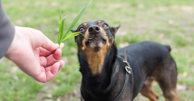 Pourquoi les chiens mangent-ils de l'herbe ?