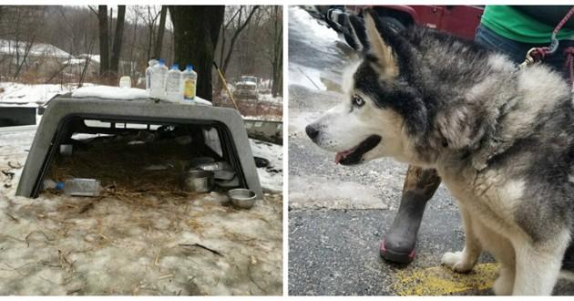 chien attaché husky