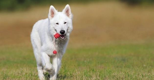 chien avec un jouet dans la gueule