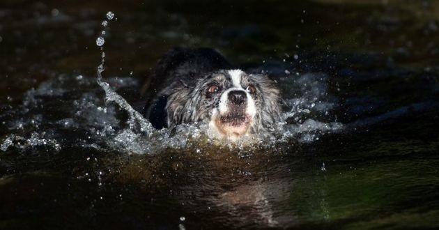 un chien qui nage dans un lac