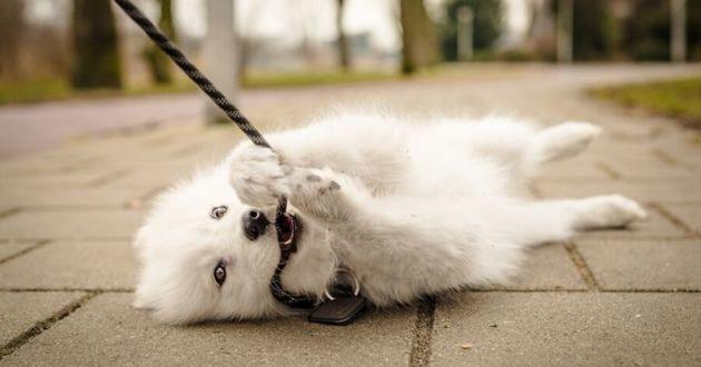 Covid-19 : voici pourquoi vous devriez nettoyer la laisse de votre chien !
