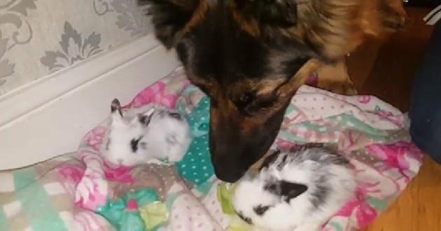 berger allemand avec des lapins