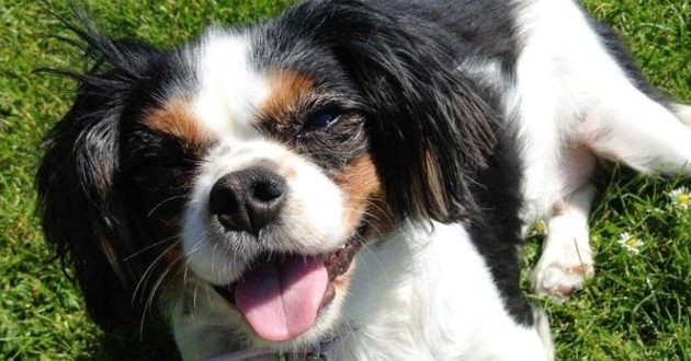 Lucy la chienne Cavalier king charles
