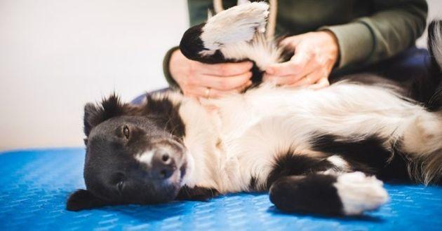 massage de chien