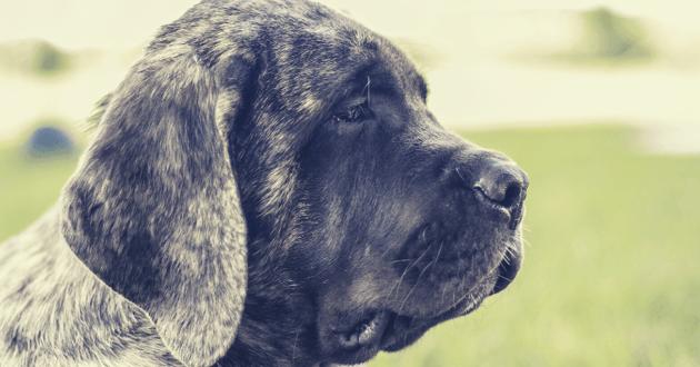 Portrait d'un chien Mastiff de profil