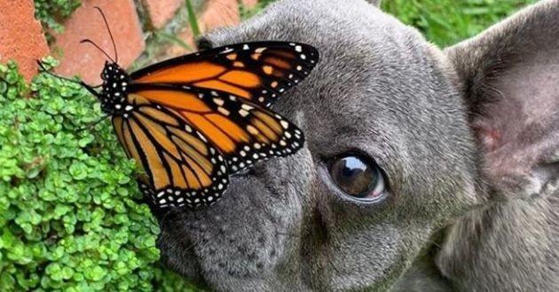 un bouledogue français et un papillon