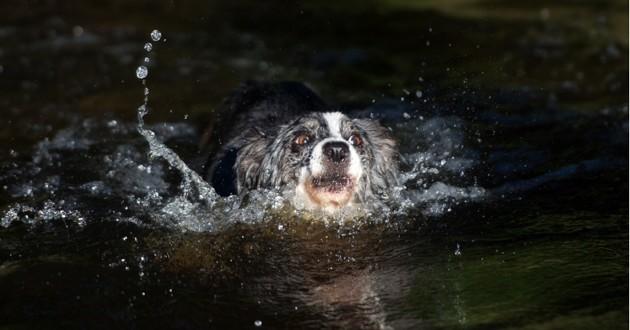 un chien qui a du mal à nager dans une rivière