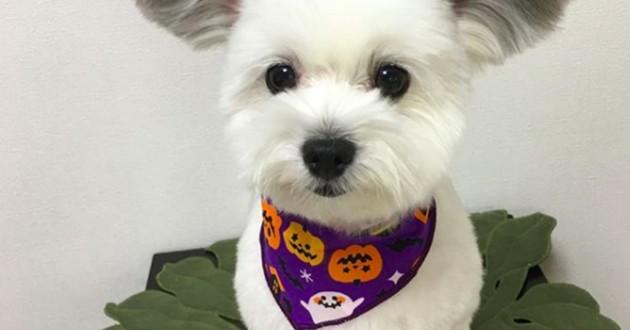 chien blanc oreilles mickey