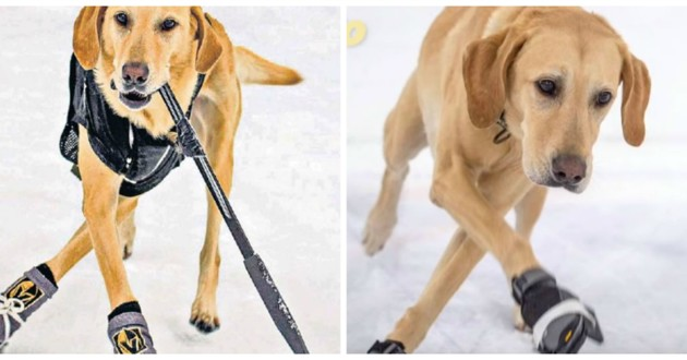 chien patinage