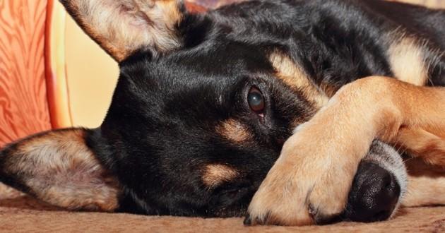 chien qui se recouvre le nez