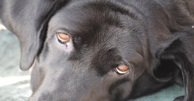 chien noir allongé