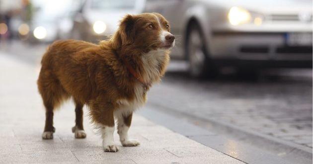 chien perdu à la recherche de son propriétaire
