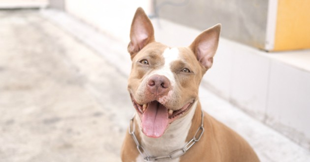 chien pit bull