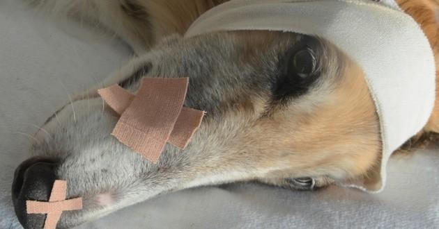 Mon chien lèche sa plaie/cicatrice, que dois-je faire ?
