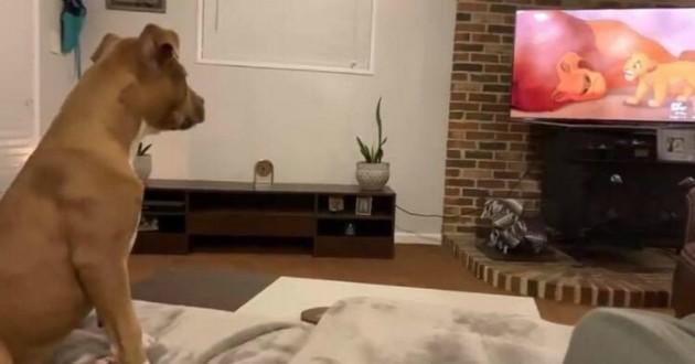 chien pleure devant la tv