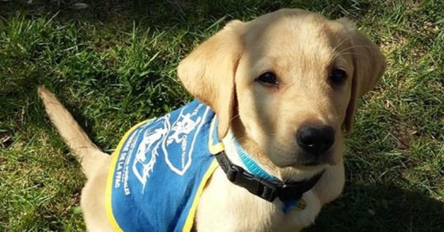 Pongo un chiot en formation pour etre chien guide d'aveugle
