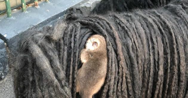 chien de race Puli avec un opossum sur le dos
