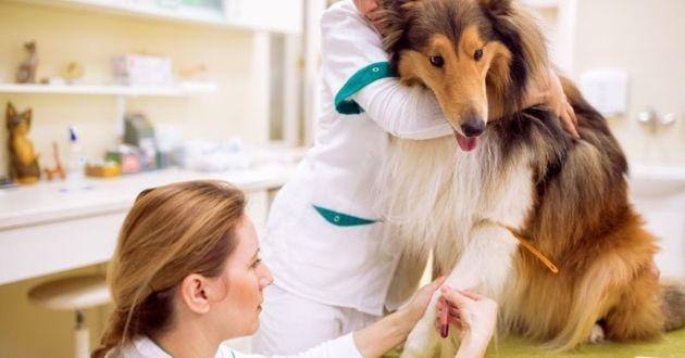 Chien don sang vétérinaire