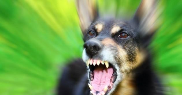 chien agressif rage