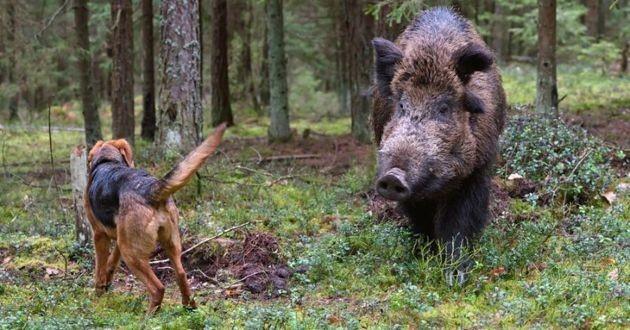 chien de chasse sanglier forêt