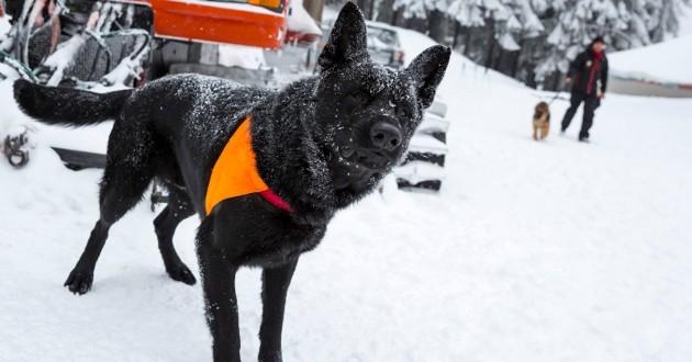 un chien secouriste à la montagne