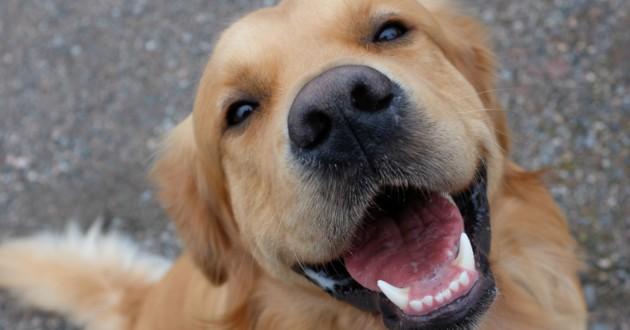 chien golden sourire