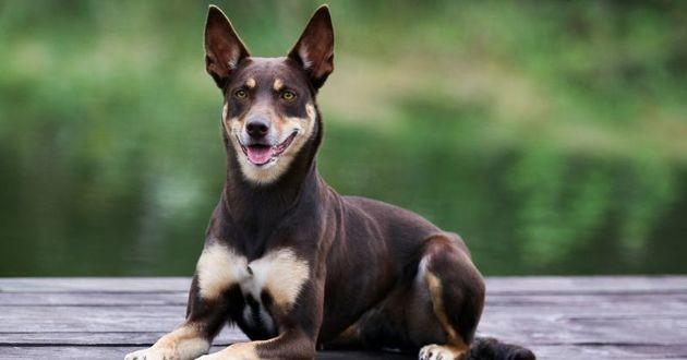 chien kelpie souriant