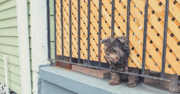 Un chien sur un balcon, la tête entre des lattes de bois