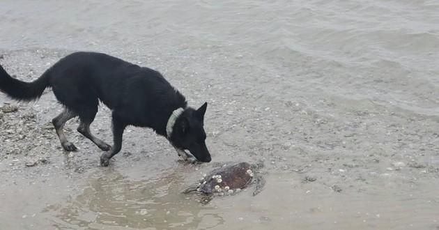 chien qui sauve des tortues de mer