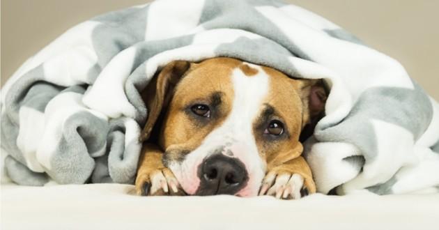 chien enroulé dans une couverture