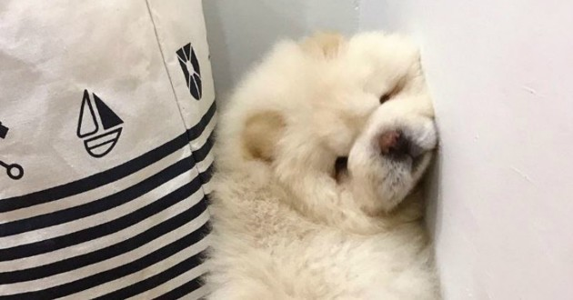 puffy chien chow chow
