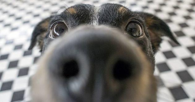 truffe de chien noir