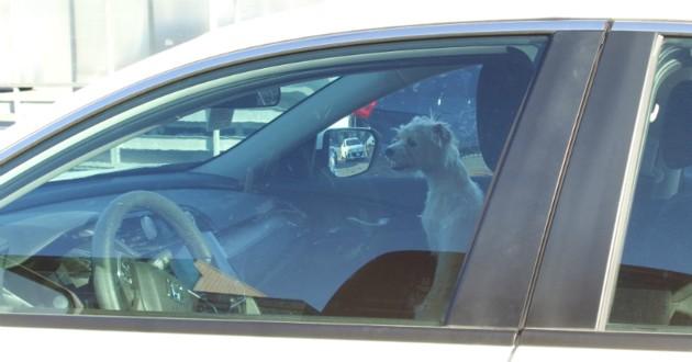 chien dans une voiture au soleil