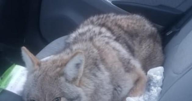 chien voiture coyote