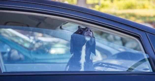 un chien enfermé dans une voiture