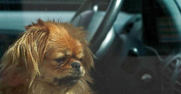 chien annie voiture