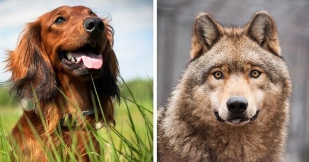 Les différences entre le chien et le loup