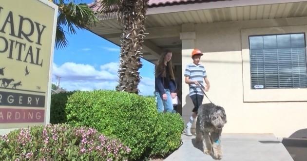 chien bobtail miracle falaise