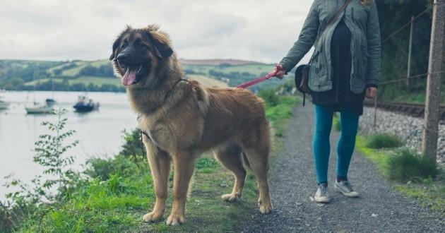 chien de grande taille